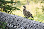 a female spruce grouse on a log in montana. in the bob marshall wilderness area