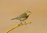 Willow Warbler - Phylloscopus trochilus - juvenile
