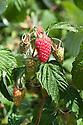 Raspberry 'Autumn Treasure', mid August.