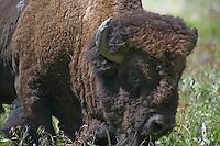 Bison Mostly