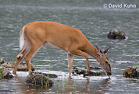 0623-1015  Northern (Woodland) White-tailed Deer Drinking Water, Odocoileus virginianus borealis  © David Kuhn/Dwight Kuhn Photography