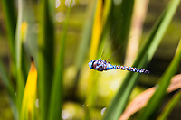 A colorful, though mostly blue, dragonfly flitting into and out of view along the duck pond path at  San Lorenzo Park.