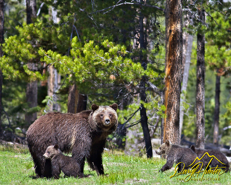 Grizzly  Bear #399 and three cubs, Grand Teton National Park