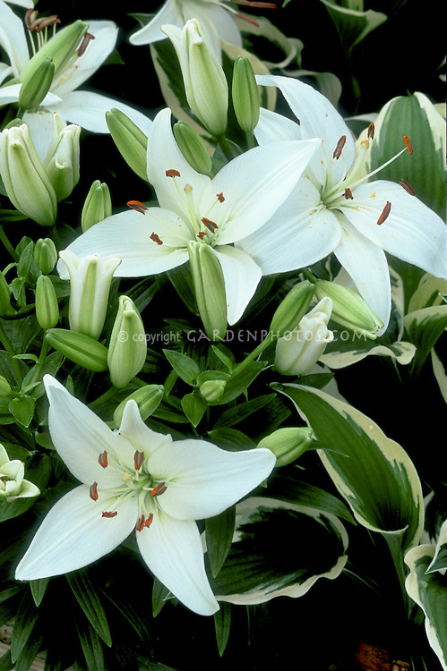 Lilium 'Reinesse'  LA hybrid pure white lilies lily, in flower from bulbs in summer, with variegated hosta for a green and white garden color theme, fragrant plant
