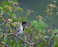 Collared Antshrike; Sakesphorus bernardi; Jorupe Reserve; Ecuador; Prov. Loja
