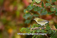 01514-001.16 Tennessee Warblers (Vermivora peregrina) in Dwarf Fragrant Sumac (Rhus aromatica) in fall, Marion Co., IL