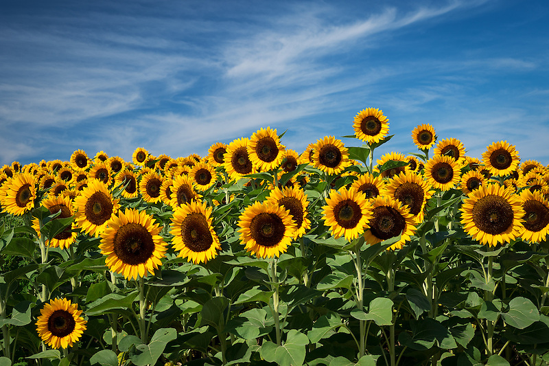 Sunflowers<br />