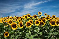 Sunflowers<br /> Riverhead, Long Island