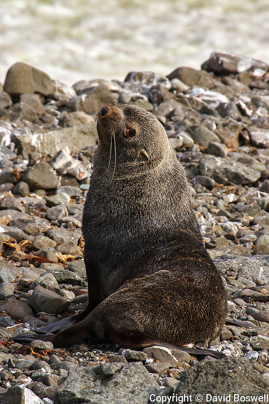 A fur seal rests on a rocky beach on Aitcho Island of the South Shetland Islands near the Antarctic Peninsula.