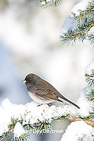 01569-014.07 Dark-eyed Junco (Junco hyemalis) on Blue Atlas Cedar (Cedrus atlantica 'Glauca') in winter, Marion Co.  IL