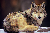 Mexican gray wolf (Canis lupus baileyi), Endangered Species.
