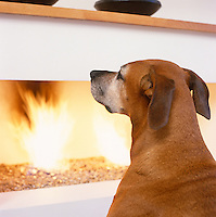 An ageing Rhodesian Ridgeback warms herself infront of the flames produced by a minimalist gas fire on a bed of pebbles