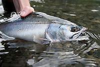 Pink Salmon, Hope Alaska.