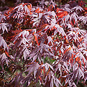 Acer palmatum 'Inazuma', late April.