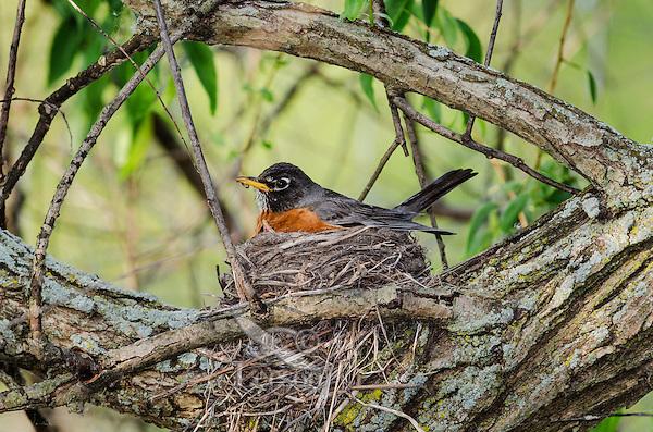 American Robin (Turdus migratorius) adult  broods days-old chicks hidden underneath on nest, spring, Great Lakes region, North America.