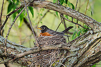 American Robin (Turdus migratorius) adult  broods days-old chicks hidden underneath on nest, spring, Great Lakes region, North America.
