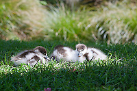 Paradise duck ducklings sitting in the grass, Hagley Park, Christchurch.