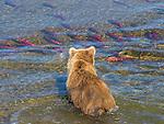 Brown bear fishing in shallow waters, Katmai National Park, Alaska, USA