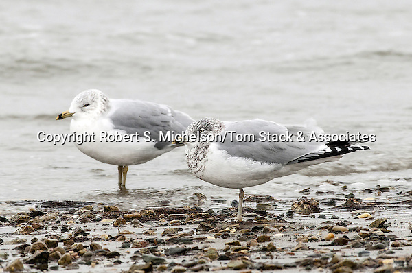 Ring-billed Gulls over-wintering in Hingham, Massachusetts