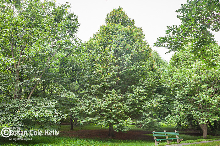 Linden trees at the Arnold Arboretum in the Jamaica Plain neighborhood, Boston, Massachusetts, USA