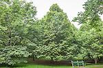 Linden trees at the Arnold Arboretum in the Jamaica Plain neighborhood, Boston, Massachusetts, USA