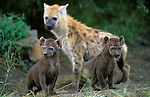 Spotted hyena, Crocuta crocuta, cubs, Kruger national park, South Africa