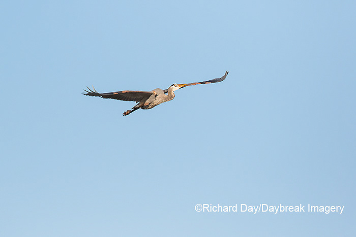 00684-05107 Great Blue Heron (Ardea herodias) in flight, Marion Co., IL
