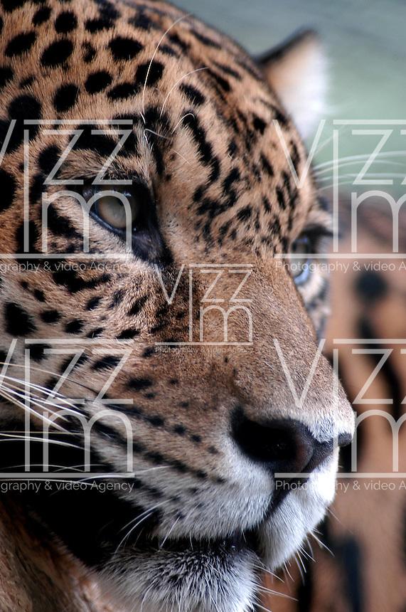CALI- COLOMBIA-31-05-2002. El jaguar,  (Panthera onca) es un carnívoro  félido  de la subfamilia de los Panterinos  y género  Panthera  y la única de las cuatro especies  actuales de este género que se encuentra en América . The jaguar, (Panthera onca) is a carnivorous feline of the subfamily and genus Panthera Panterinos and the only of the four living species of this genus found in America. (Photo::Luis Ramirez)....