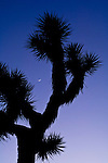 Crescent moon in evening light over Joshua Tree, Joshua Tree National Park, California