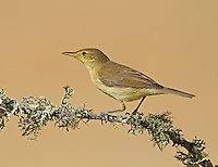 The Melodious Warbler Hippolais polyglotta (L 12-13cm) occurs most regularly and recalls an outsized Willow Warbler. It has uniform olive-green upperparts with a brownish hue to the wings; the underparts (paler in juveniles than adults) are pale yellow, the colour most intense on the throat and breast. The legs are greyish brown and there is a pale eyering. Members of this interesting genus of warblers are summer visitors to mainland Europe. Unfortunately, none breeds in Britain but we do get occasional visits from passage migrants; look for them at coastal migration hotspots in autumn after south-easterly winds. As a group, Hippolais warblers are superficially similar to Phylloscopus warblers but have proportionately large heads, a peaked rather than rounded crown, a relatively large, broad-based bill and pale lores.