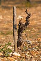 Cabernet Sauvignon vine at La Truffe de Ventoux truffle farm, Vaucluse, Rhone, Provence, France