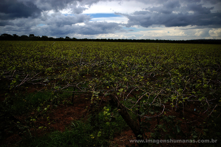 Parreira de uva - Projeto de irrigação de Pirapora, Minas Gerais..Grape Parreira - Project of irrigation of Pirapora, Minas Gerais.