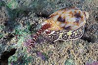 venomous cone shell, Conus sp., hunting at night, Mabul Island, off Borneo, Sabah, Malaysia (Celebes Sea), Pacific Ocean