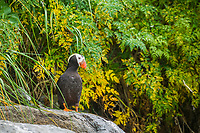 Tufted Puffin stands on a rock on an island in Prince William Sound, Alaska