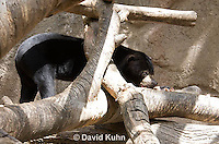 0327-1003  Sun Bear, Helarctos malayanus  © David Kuhn/Dwight Kuhn Photography.