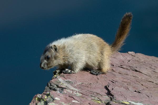 Young Hoary Marmot (Marmota caligata), Glacier National Park, Montana.  Summer.