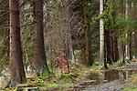 Europa, DEU, Deutschland, Nordrhein Westfalen, NRW, Eifel, Naturschutzgebiet Perlenbach-Fuhrtsbachtal, Wald, Fichtenwald, Kategorien und Themen, Natur, Umwelt, Landschaft, Landschaftsfotos, Landschaftsfotografie, Landschaftsfoto, Naturschutz, Naturschutzgebiete, Landschaftsschutz, Biotop, Biotope, Landschaftsschutzgebiete, Landschaftsschutzgebiet, Oekologie, Oekologisch, Typisch, Landschaftstypisch, Landschaftspflege....[Fuer die Nutzung gelten die jeweils gueltigen Allgemeinen Liefer-und Geschaeftsbedingungen. Nutzung nur gegen Verwendungsmeldung und Nachweis. Download der AGB unter http://www.image-box.com oder werden auf Anfrage zugesendet. Freigabe ist vorher erforderlich. Jede Nutzung des Fotos ist honorarpflichtig gemaess derzeit gueltiger MFM Liste - Kontakt, Uwe Schmid-Fotografie, Duisburg, Tel. (+49).2065.677997, archiv@image-box.com, www.image-box.com]