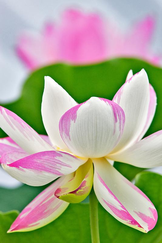 Lotus blossom. Hughes Water Gardens, Oregon