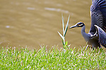 A yellow-crowned night-heron near a marsh along the coast in the Houston area.