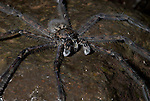 Fishing Spider, Dolomedes  sp, on rock by stream, legs on surface tension of water, Guayacan, Provincia de Limon, Costa Rica, Amphibian Research Center, night, ambush, prey.Central America....