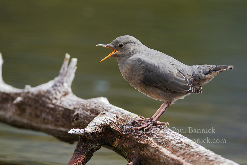 An American Dipper cals from downed snag in a mountain lake.