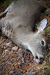 Whitetail deer doe killed by coyotes