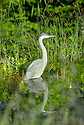 An ever patient Heron stands in a White Mountain wetland.