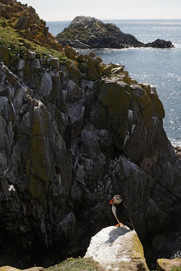 Puffin Fratercula arctica Ireland Saltee Islands south east coast