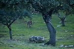 Iberian Red Deer (Cervus elaphus hispanicus) stag grazing under Holm Oak (Quercus ilex) trees in mediterranean forest, Sierra de Andujar Natural Park, Sierra de Andujar, Sierra Morena, Andalusia, Spain
