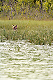 USA, Alaska, grizzly bear peering out of long grass, Redoubt Bay