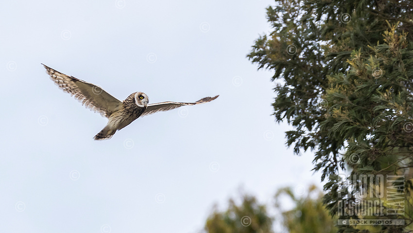 Hawai'i's native short-eared owl, the pueo, soars majestically into the trees, Kamuela (a.k.a. Waimea), Big Island.