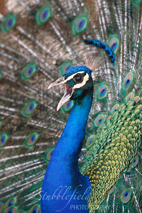 Male Peacock, Indian Peafowl (pavo cristatus) calling and in full mating display with tail spread