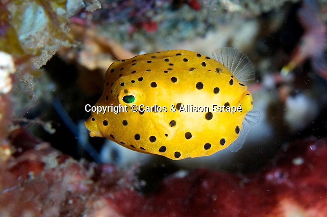 Ostracion subicus, Yellow boxfish, juvenile, Lembeh, Indonesia