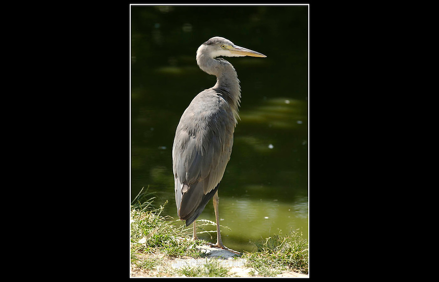 Grey Heron (Ardea cinerea) - Zoological Society of London - 15th June 2003